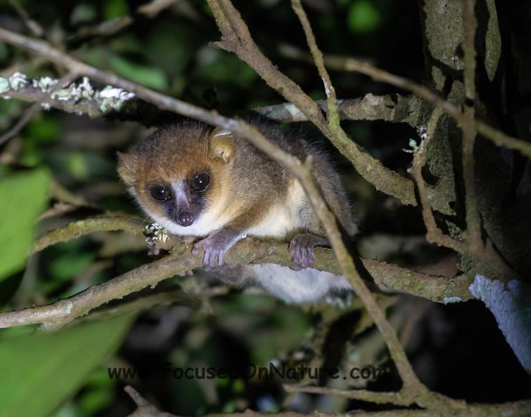 Amber Mountain Mouse Lemur