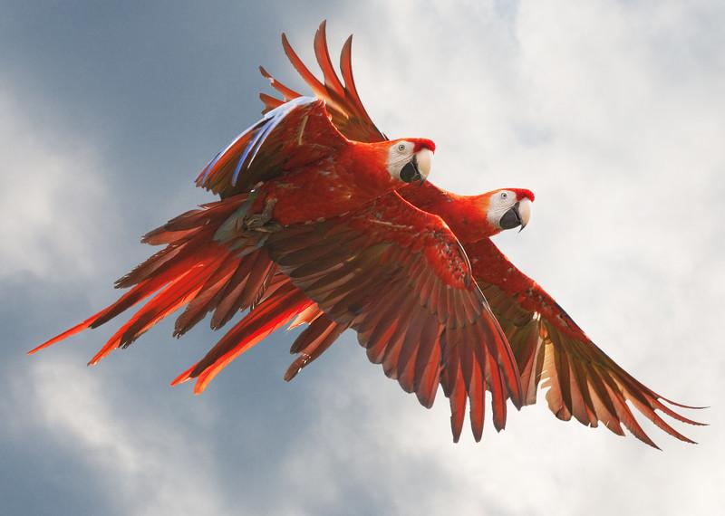 Parrots in flight_4977383573_o_8179359247_o.jpg