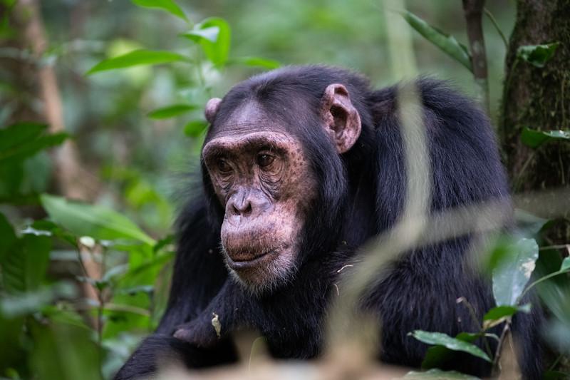 Uganda_T_Chimps-595.jpg