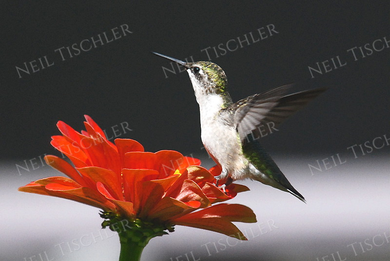 #900  A ruby throated hummingbird perched on a red zinnia petal