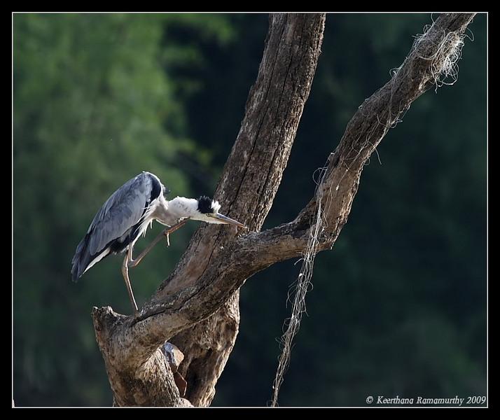 Grey Heron, Kabini, Mysore, Karnataka, India, June 2009