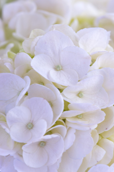 WHITEhydrangea70to200CloseUpFilterOct2017.jpg
