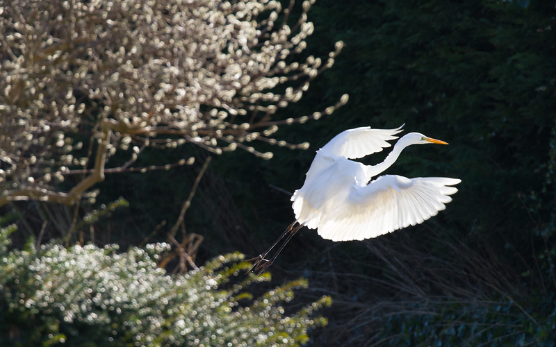 grote zilverreiger, great white egret