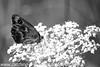 Gate Keeper - Pyronia tithonus (46)
