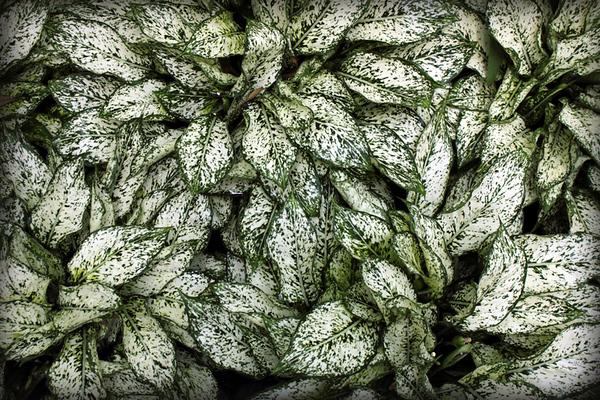 Longwood leaves 1.jpg