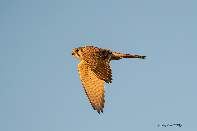 Kestrel, Female
