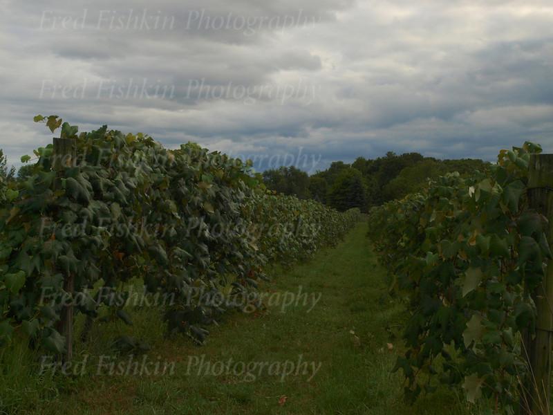 Heller Vineyard.jpg