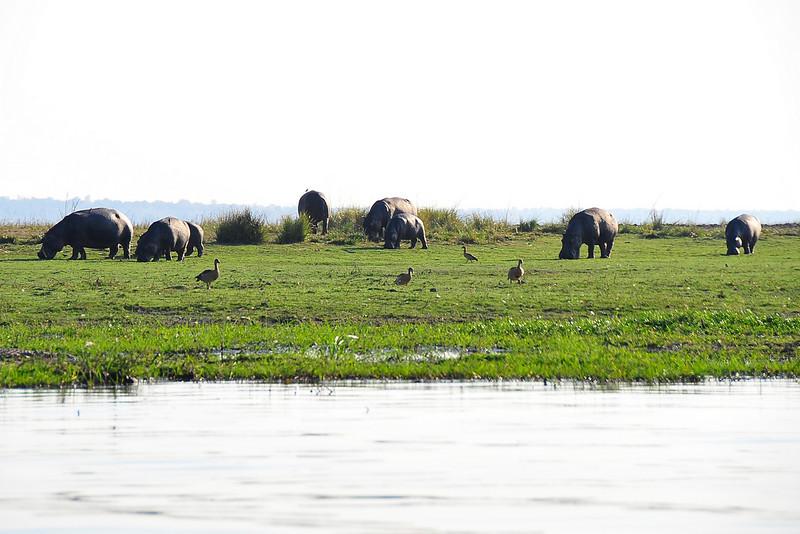 EPV0189 Hippos Grazing on Land.jpg
