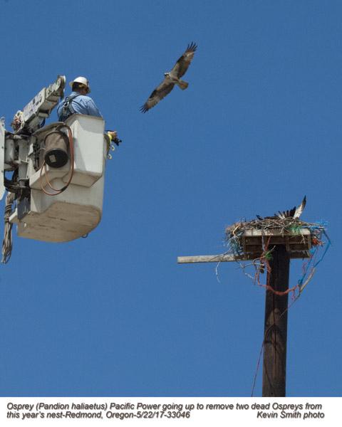 Osprey nest with 2 dead birds A33046.jpg