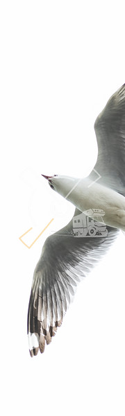 The red-billed gull, once also known as the mackerel gull, is a native of New Zealand