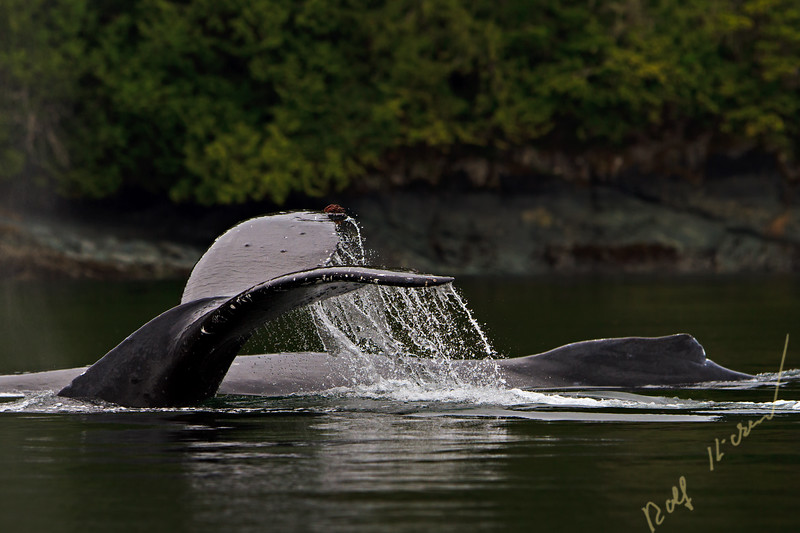 Two Humpack Whales (Megaptera novaengliae) traveling along the British Columbia coastline, Great Bear Rainforest, British Columbia, Canada.