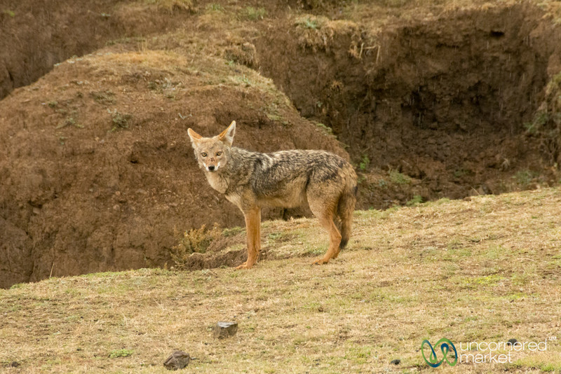 A Jackal in the Simien Mountains - Ethiopia