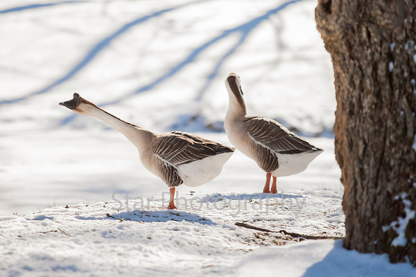Geese Just Hanging Out 01-30-14