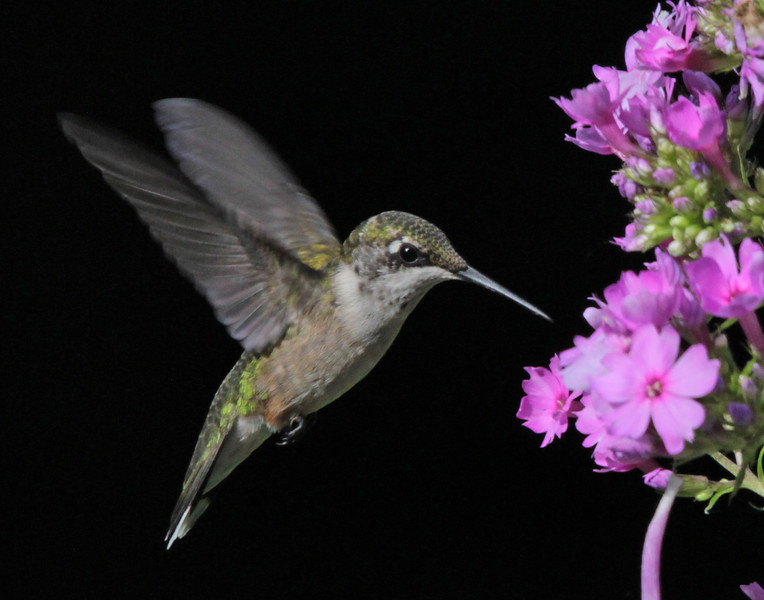 leavitt_ruby throated hummingbird.jpg