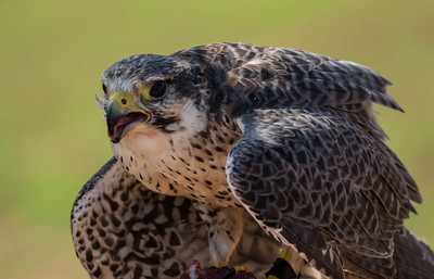 Falcon Flights