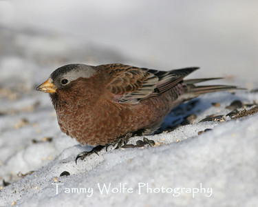 Finch, Gray-Crowned Rosy