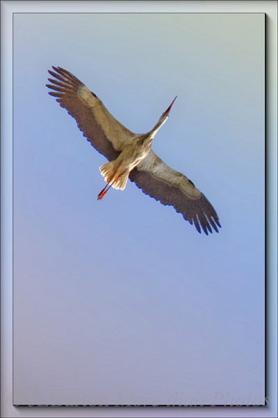 Soaring Stork over Marchegg WWF protected area