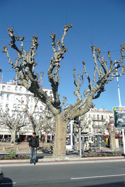 Sycamore Trees. Cannes, France