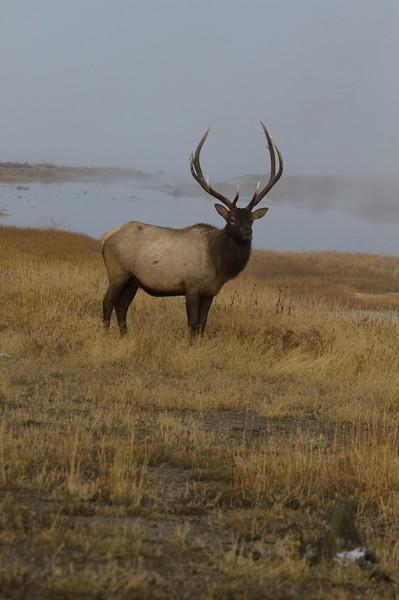 Elk bull Yellowstone WY IMG_0005764.jpg