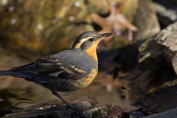 Thrushes - All eight species expected in Indiana have been photographed