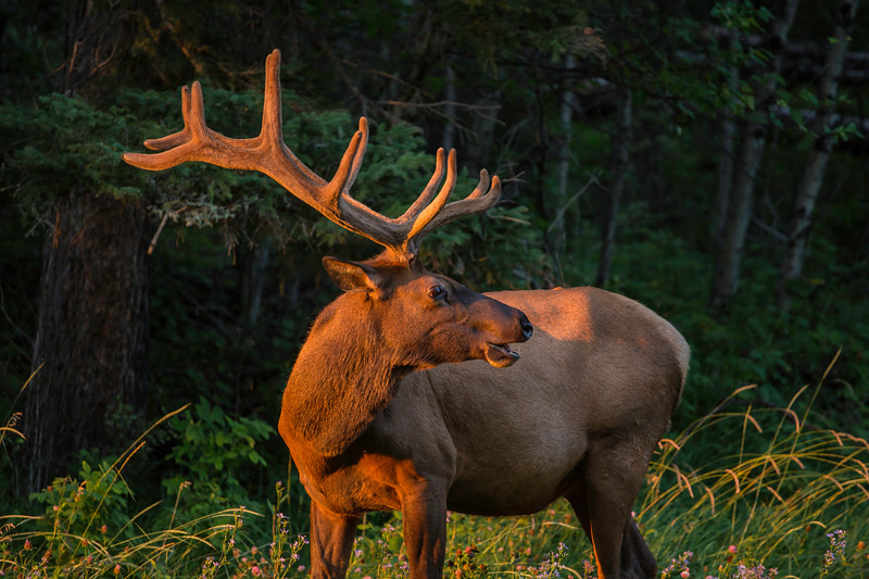 Waskesiu Elk August 6.jpg