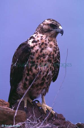 Galapagos hawks (Buteo galapagoensis)