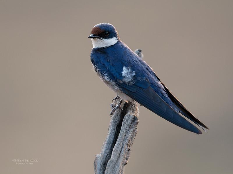 White-throated Swallow, Pilansberg NP, Sept 2016-2.jpg