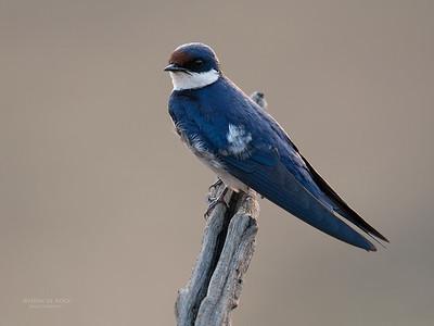 White-throated Swallow (Hirundo albigularis)
