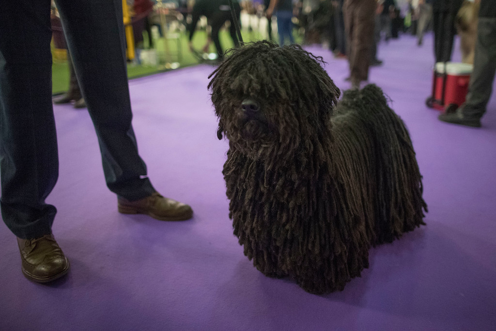 . Preston, a puli, waits to compete during the 141st Westminster Kennel Club Dog Show, Monday, Feb. 13, 2017, in New York. (AP Photo/Mary Altaffer)
