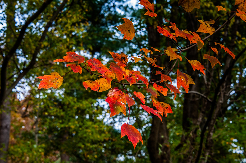 Colorful Early Autumn Maple Leaves