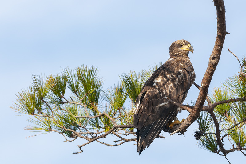 Immature Bald Eagle.jpg