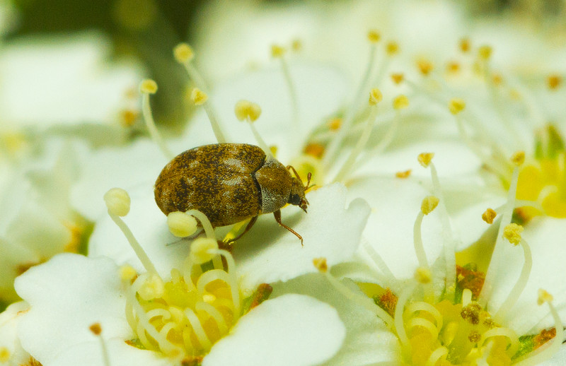 A teeny-tiny little carpet beetle (Anthrenus sp, Dermestidae, 2-3 mm) feeds on pollen in my yard in Iowa. Beetles from this family are reviled by entomologists the world over for their habit of infesting and damaging insect collections.