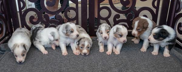 Foxpointe Australian Shepherds