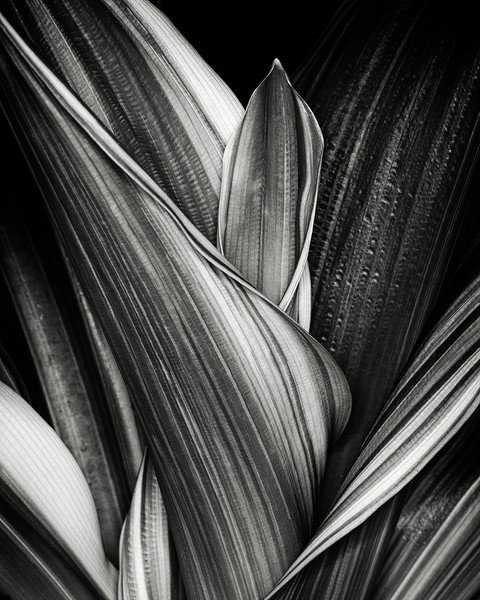 cordyline leaves
