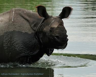 Indische neushoorn; Indian rhinoceros; Rhinoceros unicornis; Panzernashorn; Rhinocéros indien