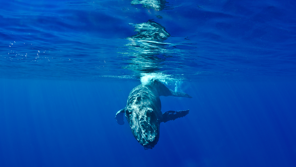 Humpback Whales: Maui, Hawaii
