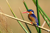 Amazing colours of the Malachite Kingfisher