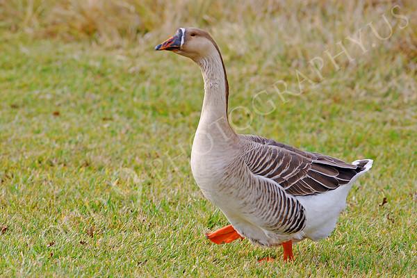 Chinese Goose Wildlife Photography