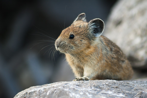 Pika in the wild in North America
