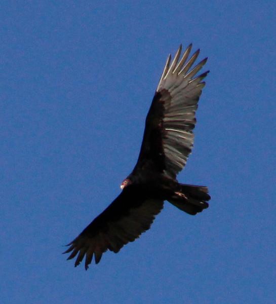 Turkey vulture soaring