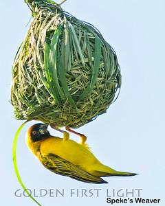 Speke's Weaver, Kenya