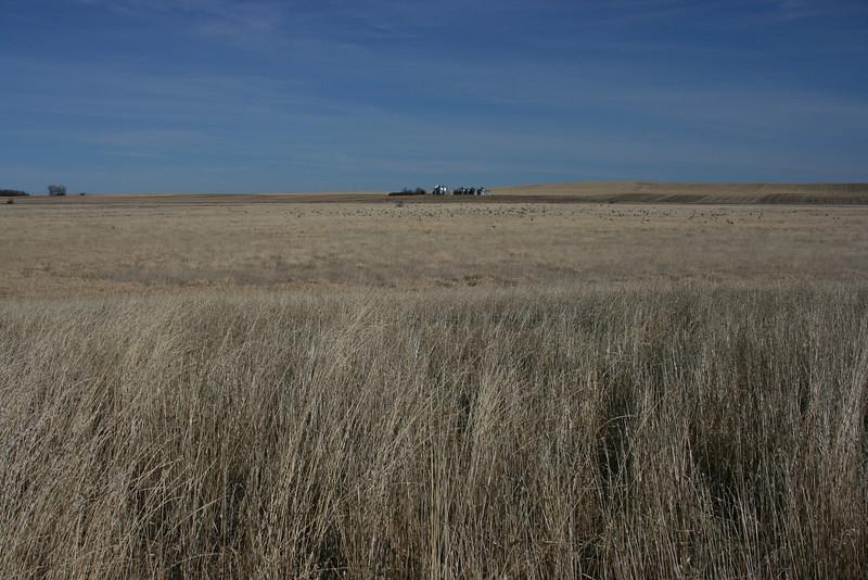 Flock of pheasants