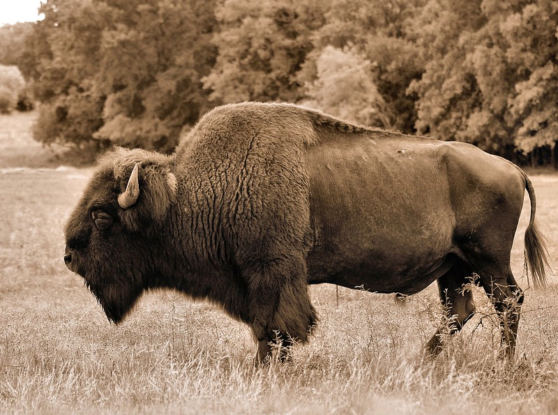 American Bison - Copy.jpg