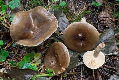21.10.2015 - Lactarius fuliginosus