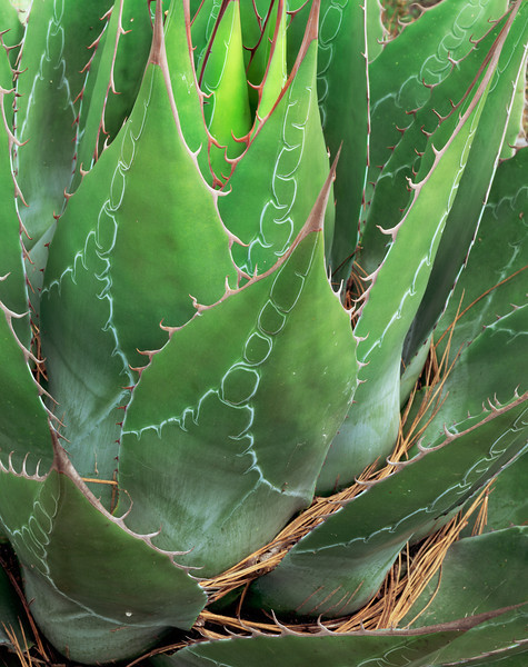 Tamaulipas, Mexico / Agave, Agave montana with pine needles lining the vivid colored and patterned blades in the Sierra Madre Oriental. 1003V5