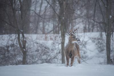Winter Deer, 2018