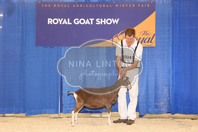 RAWF Dairy Goat Show Toggenburg Champions and Candids 2017