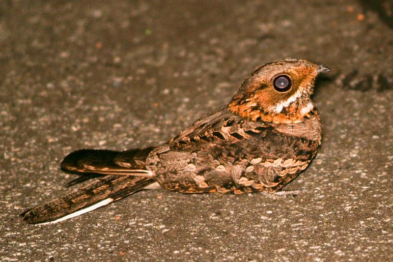 Fiery-necked Nightjar Sitting