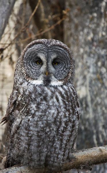 Great Grey Owl, Calgary Zoo, Nov. 30