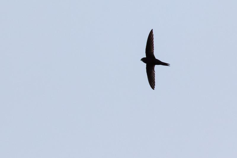 gierzwaluw, common swift